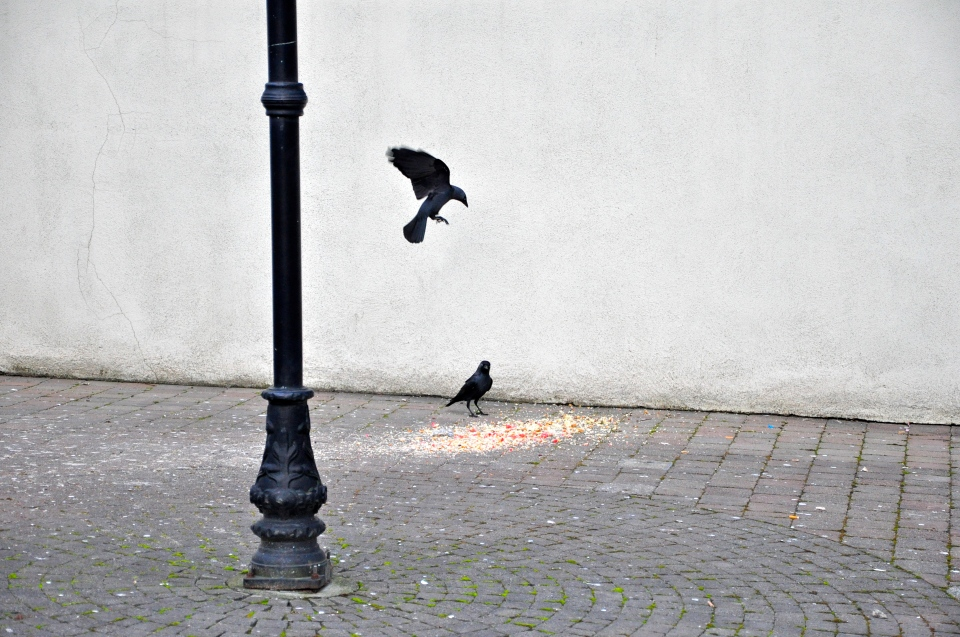 crows and lamppost